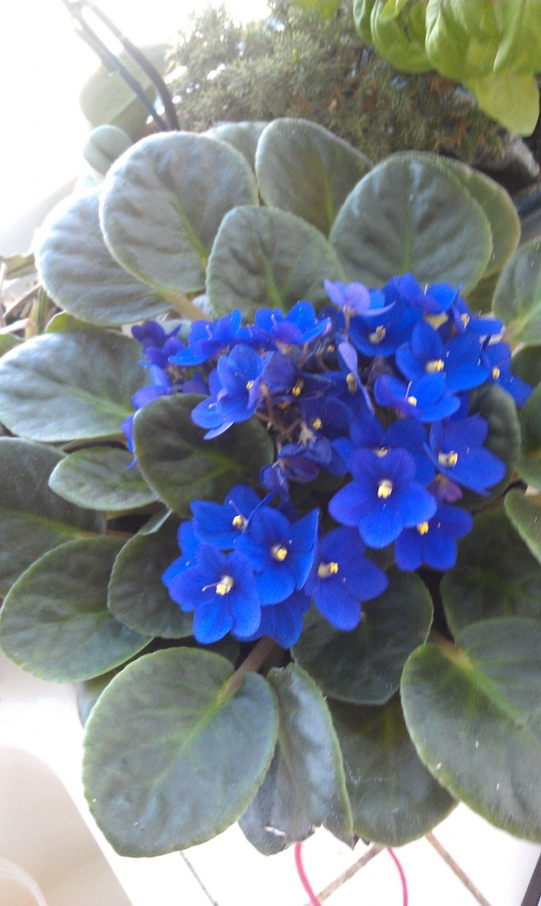 Mom's African Violets